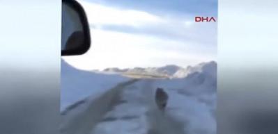 Ambulansın önüne çıkan kurt kamerada
