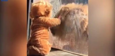 Aslan kıyafeti giyen bebeğe aslanın tepkisine bakın!