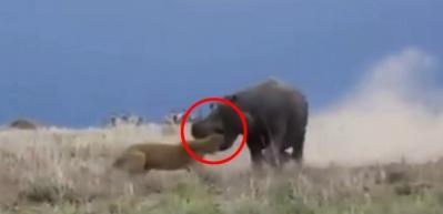 Aslanı kafasından yakalayan su aygırı!