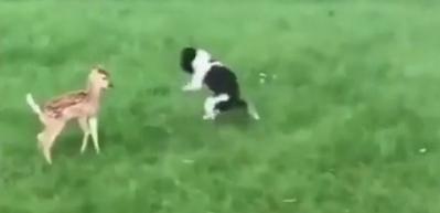 Bahçeye giren ceylanla köpeğin tanışması