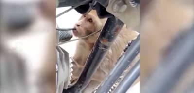 Benzine bağımlı hırsız maymun şaşırtıyor