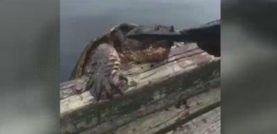 Caretta caretta ile balık kavgası!