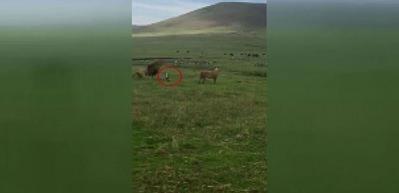 Çılgın köpek aslanlara saldırdı!