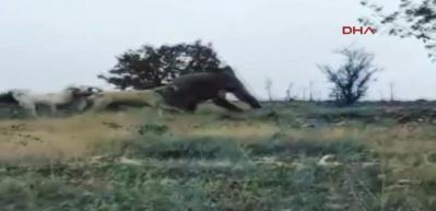 Çoban köpekleri, sürüye saldıran ayıyı kovaladı!