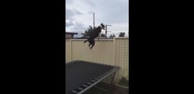 Dışarısını görmek için trambolinde zıplayan köpek