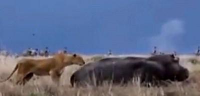 Hipopotama saldıran aslanın sonu!