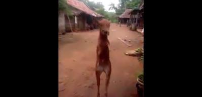 İki bacaklı ineği görenler gözlerine inanamadı!