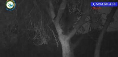 Kazdağları'nda incir ağacına çıkan ayı görüntülendi