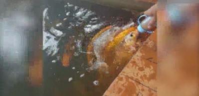 Koi balığını biberonla besledi