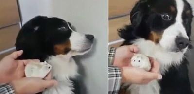 Köpeğin hamster korkusu
