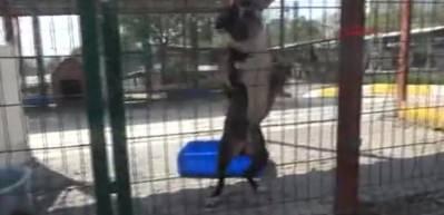 Köpek barınağının 'ömür boyu mahkumları'; Pitbull'lar