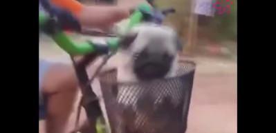 Küçük çocuk minik köpekleri böyle taşıdı