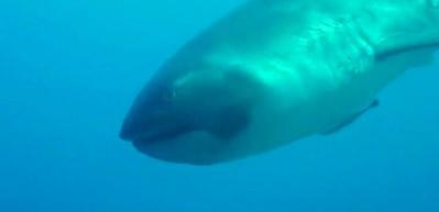 Nadir görülen köpek balığı nefes kesti