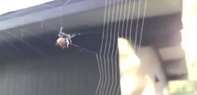 Örümceğin ağ örme anı büyülüyor