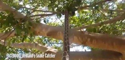 Piton ve yarasanın inanılmaz kapışması!