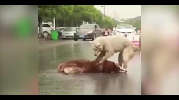 Arkadaşı ölen köpeğin hıçkıra hıçkıra ağlaması