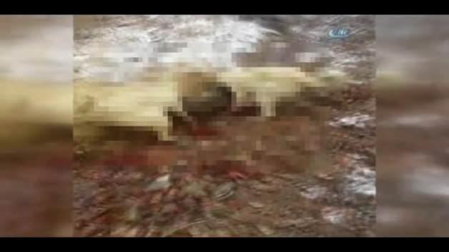Yaban domuzunu kangal köpekleri böyle boğdu