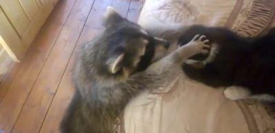 Rakun kedinin başını yakaladı ve...