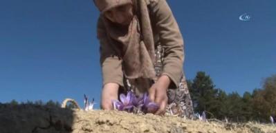 Safranbolu'da safran hasadı başladı