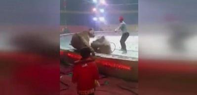 Sirkte kaplanlar ata saldırdı