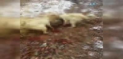 Sürüye saldıran yaban domuzunu kangal köpekleri boğdu