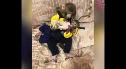 Anne maymunun şevkati izleyenleri duygulandırdı