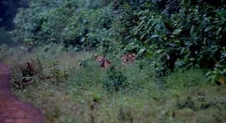 Etiyopya aslanını ilk kez bir Türk görüntüledi