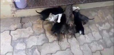 Yavru köpekleri emziren kedi
