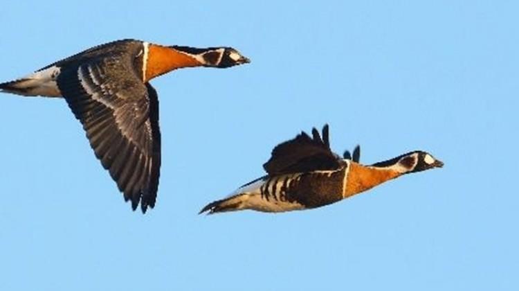 Nadir görülen kuş türü İstanbul'da vuruldu