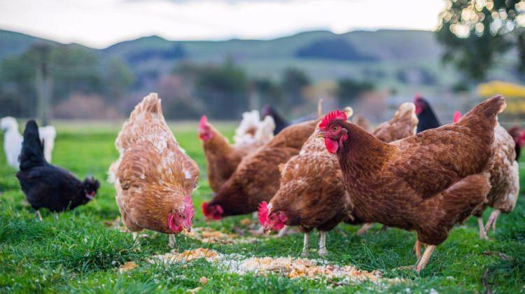 Antibiyotik verilen tavuklara aşı yolda!