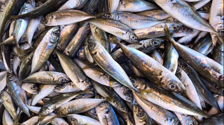 Balıkçıların yüzü istavritle gülüyor