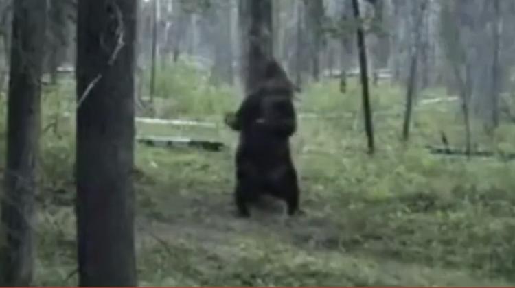 Sırtını ağaçla kaşıyan bozayı kahkahaya boğdu