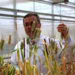 Türkiye'de GDO'lu buğday yok