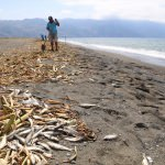 Hatay'da sahile vuran ölü balıklar toplandı