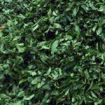 10.5 milyonluk çay ihracatı
