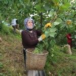 Mevsimlik tarım işçileri fındık hasadından memnun