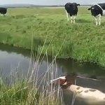 Tarzıyla sürüden ayrılan inek! Otlamak yerine...