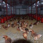 Fındık üreticisi organik yumurta üretimini sevdi