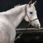 Safkan atların ithalatıyla ilgili önemli gelişme