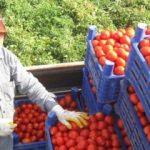 Rus heyet domatesi görüşmek için geliyor