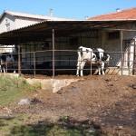 Tekirdağ'da hayvan hırsızlığı iddiası