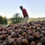 Üretici iç fındık fiyatına tepkili