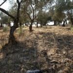 Edremit'te zeytinlikte erkek cesedi bulundu