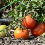 Çanakkale domatesinde fiyat yüz güldürdü