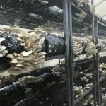 Ordu'da istiridye mantarı üretimi artıyor
