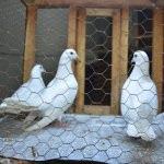 Hayrabolu'da açık arttırma ile güvercin satımı