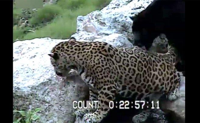 Leoparın ayağı kayınca yere böyle çakıldı
